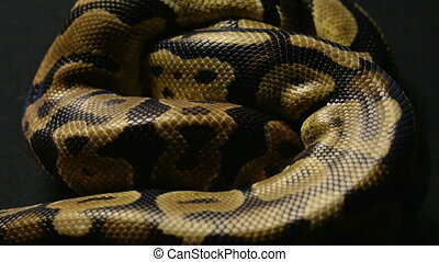 Texture of royal python's snakeskin - Footage of royal ball...