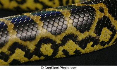 Texture of snakeskin, anaconda - Footage of yellow anaconda...