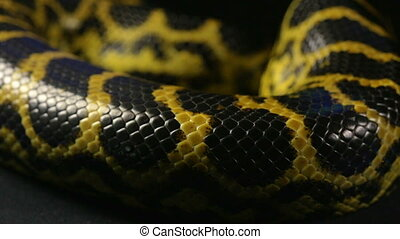Texture of snakeskin, close up - Footage of yellow anaconda...