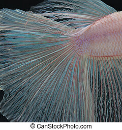 Texture of tail siamese fighting fish for background