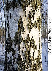 Texture of the birch trunk bark