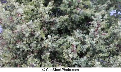Texture of the branches of juniper