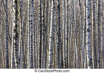 Texture of the white birch trunks
