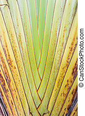 Texture of tree bark. Palm tree. Background. Pattern of tropical Palm trunk. Traveller's- tree , Ravenala madagascariensis Palm use for background. Banana tree texture and background