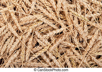 Texture of wheat ears