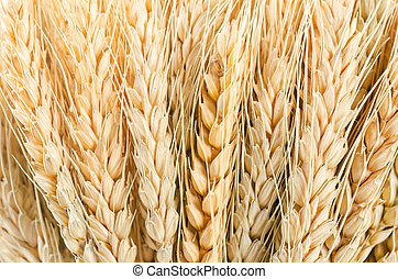 Texture of wheat.