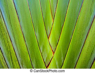 Fresh green color and texture on body of traveler's palm, Ravenala banana