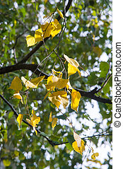 Texture, pattern, background. Leaves fall. Leaves and twigs from birch leaves. Deciduous tree with white bark and heart-shaped leaves.