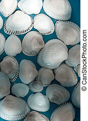 cockle-shell - texture series: cockle-shell on the blue in ...