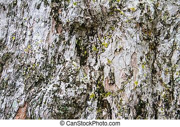 Texture tree bark of yang( Dipterocarpus alatus Roxb ).
