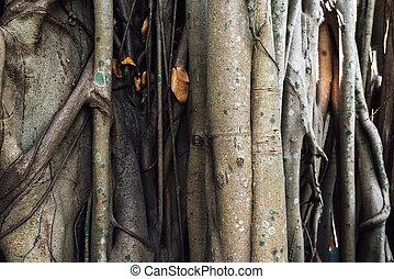 trunk root of Ficus benghalensis Indian banyan tree -...