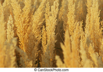 Texture yellow grass, panicle . a perennial plant. a loose,...