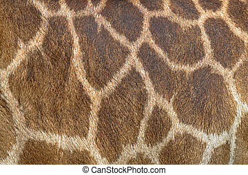 Textured skin of giraffe