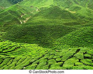 thé, champ vert