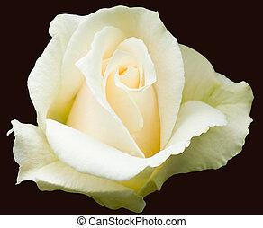 "thé, hybride, crémeux, ""pascali"", rose, blanc"