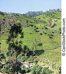 thé, paysage, plantations