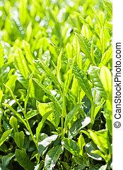 thé, vert, bourgeon