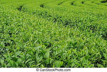 thé, vert, farm.