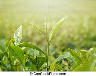thé, vert, leaves., bourgeon