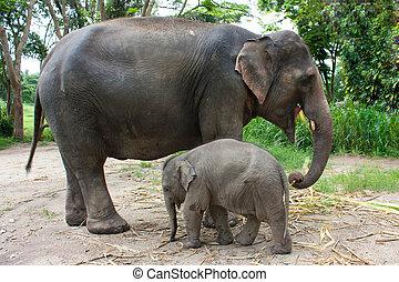 thaï, éléphant