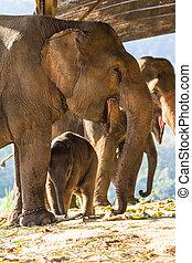 thaï, eléphanteau, et, mère