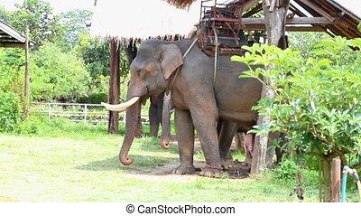 thaïlande, éléphant