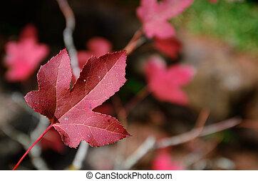 thaïlande, feuilles, érable, fond, rouges