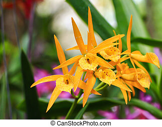 thaïlande, orchidée