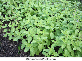 thai basil plants in the veggie patch