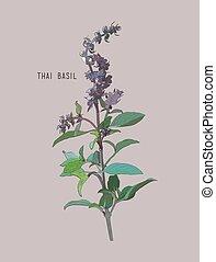 Thai basil vector. Hand drawn sketch leaves of spice thai...