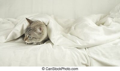 Thai cat lies under blanket on the bed and looks around...