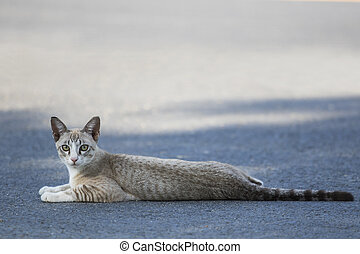 thai cat lying on traffic road and looking to camera with ...