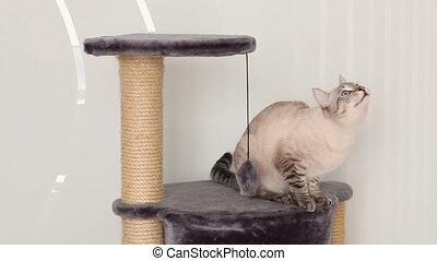 Thai cat meows for a sunbeam.