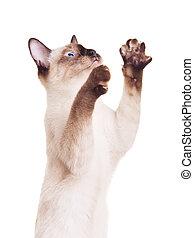 Thai Cat With Raised Paw