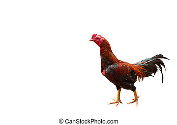 Thai chicken rooster isolated on white