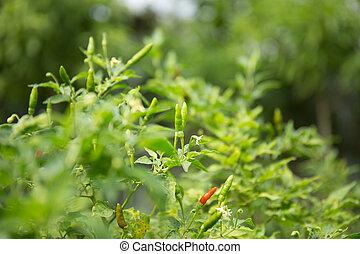 Thai Chilli in garden.