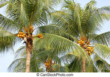 Thai coconuts