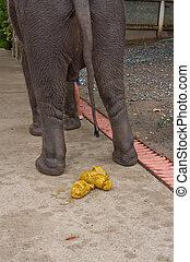 thai, elefant, defecating