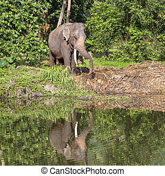 Thai elephant stands next to a lake in the jungle , Thailand