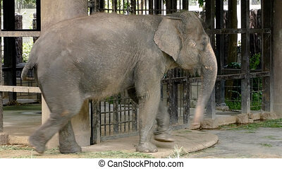 Thai elephant walking with one foot tied to a chain