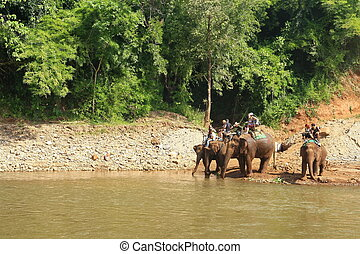 Thai elephants drink river water in forest with tourist riding, Chiangmai Thailand