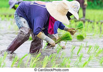 Thai farmer growing rice