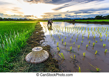 Thai farmer growing young rice in field, Thailand