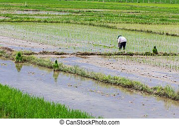 Thai farmer planting on the rice field