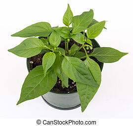 thai hot pepper potted plant isolated over white background
