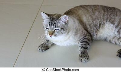 Thai imposingly beautiful cat lying on floor.