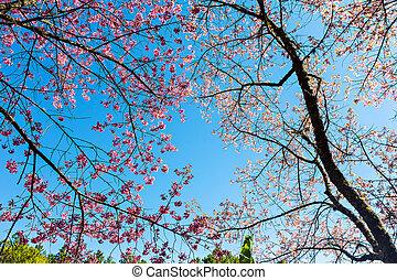Thai sakura or Cherry blossom in Chiang mai, Thailand