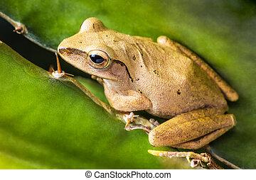 Thai small frog, Pad, Kiet - Close up shot Thai small frog...