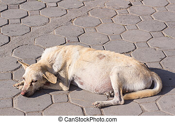 Pregnant dog  English bulldog standing showing pregnant