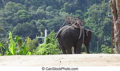 Thai taxi. - Elephant for riding. Phuket, Thailand.